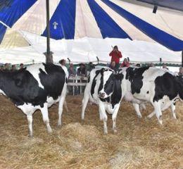 Las vacas de tambo sufren un fuerte retraso en precios