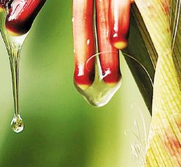 Descubren un maíz mexicano que no necesitaría fertilizantes