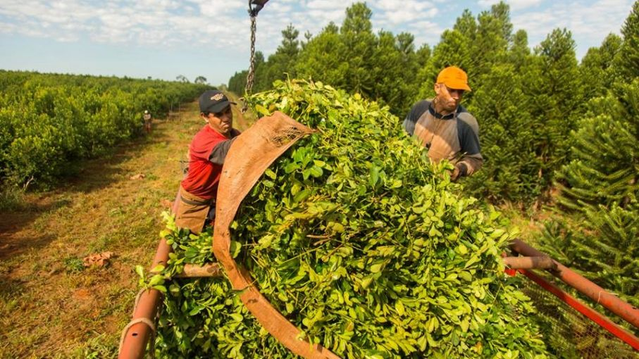 Aumentaron la producción y consumo de yerba mate en Argentina - Agrolatam