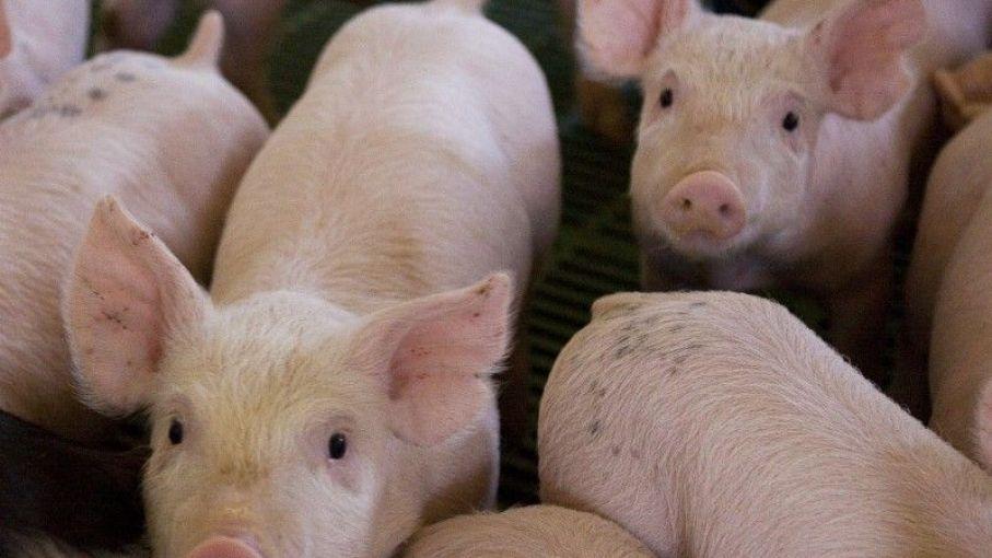 Estados Unidos habría desarrollado vacuna contra la fiebre porcina africana