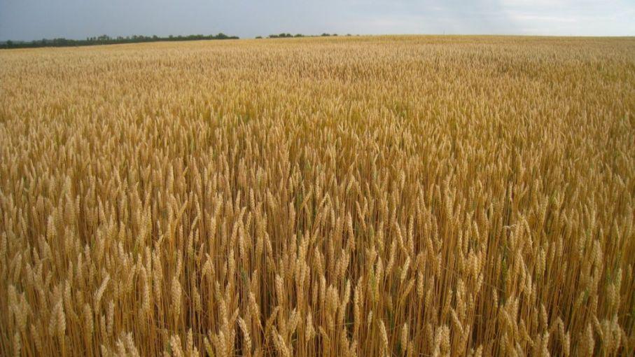 A punto de terminar de sembrar 1,7 M de ha de trigo