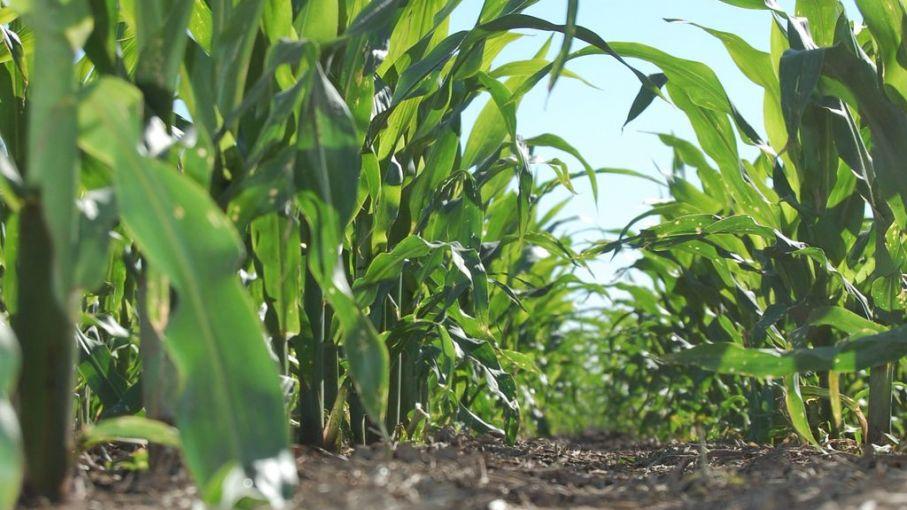 Desmejora la condición del maíz de primera de Entre Ríos por las lluvias escasas