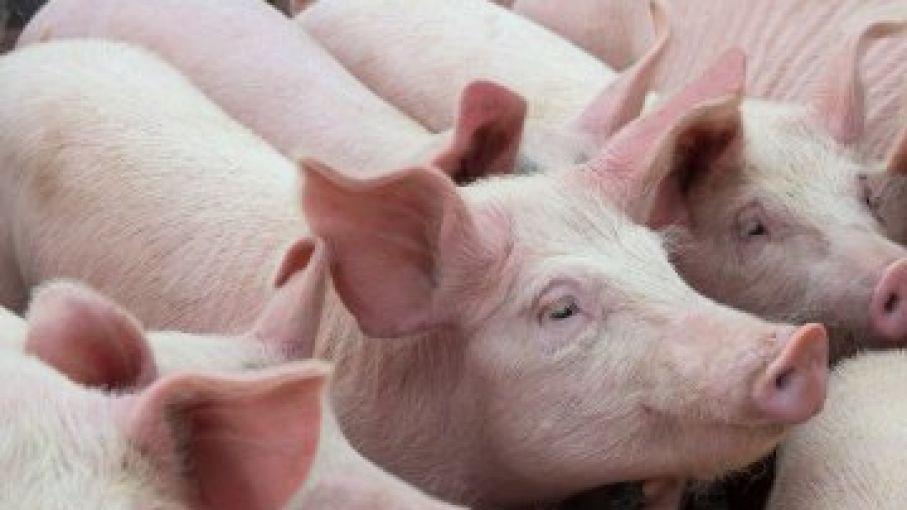 """Estados Unidos y Vietnam firman un acuerdo de U$D500 millones para formar un """"Consorcio Porcino"""""""