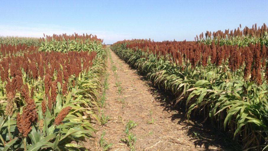 El sorgo 2020/21 llegó a los 200 u$s/tonelada: vale casi 25% más que el maíz tardío