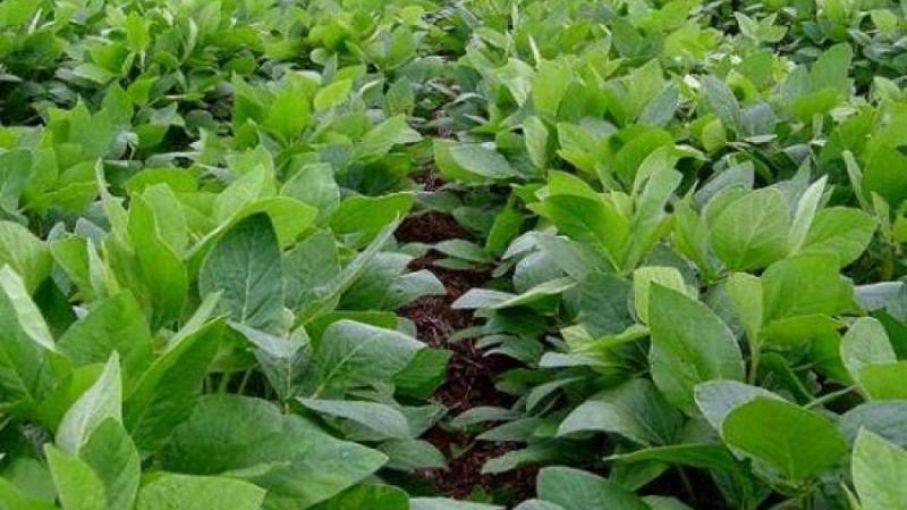 El área implantada de soja llega a 2,65 millones de hectáreas en zonas de la Bolsa bahiense