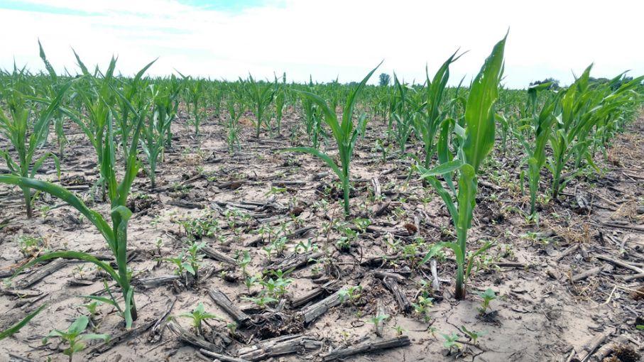 Destacan el desarrollo de la soja y del maíz tardíos por las lluvias en Santa Fe
