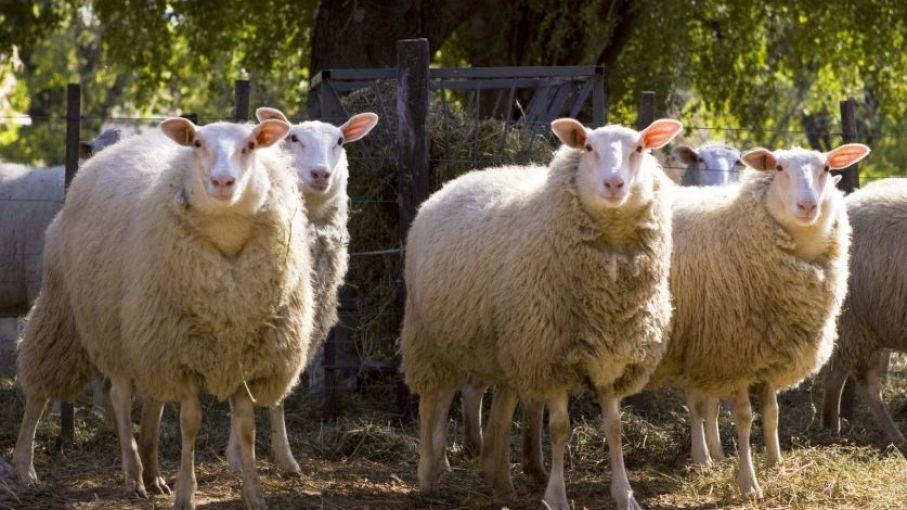 Nación financia proyecto para el desarrollo de valor agregado a la carne ovina de Córdoba