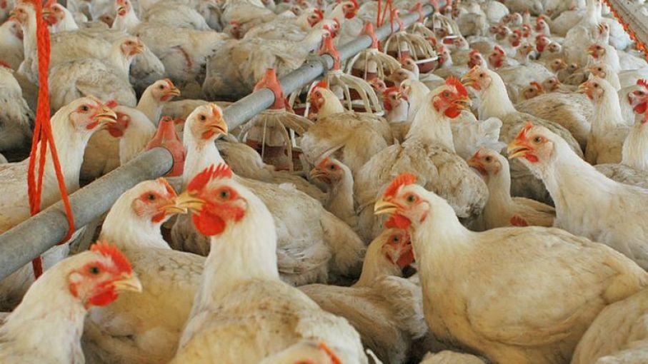 Argentina reiniciará la exportación de carne aviar a la UE tras ajustes sanitarios