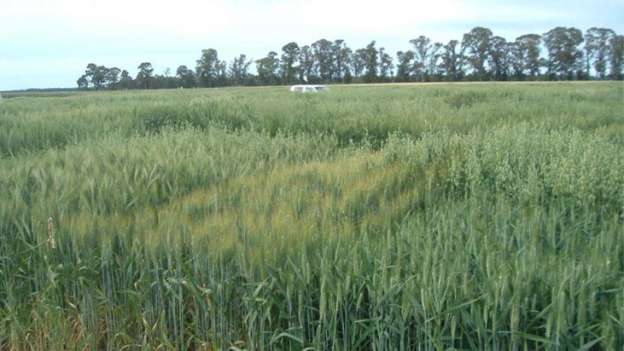 Analizan cultivares de trigo que pueden competir contra malezas resistentes