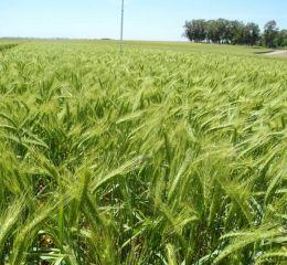 La siembra de granos finos concluyó con más de 7 mill/ha implantadas