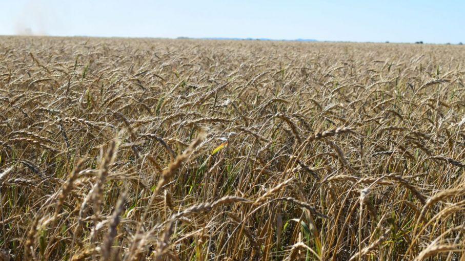 Estiman bajas en la producción de trigo y garbanzo por las sequías en Córdoba