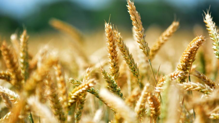 Un productor entrerriano necesitará 2.406 kilos de trigo por ha para cubrir costos